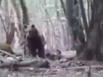 لحظات نفس گیر رودررویی با یک خرس قهوه ای بزرگ در جنگل های نوشهر